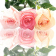 Stock Photo: Isolated pastel roses on a white back: