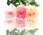 Isolated pastel roses on a white back: — Stock Photo