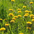 Dandelions - Foto Stock
