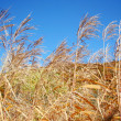 Autumn cane — Stock Photo