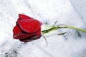 бордовая роза в утренней росы — Стоковое фото
