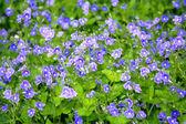 Mavi çiçek alan — Stok fotoğraf