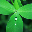 Clover leaf with drop — ストック写真