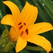 Beautiful orange lily - Stock Photo