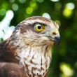Falcon portrait — Stock Photo