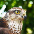 Stock Photo: Falcon portrait