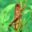 Red grasshopper on a grass — Stock Photo