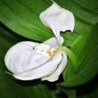 Attractive white  orchid — Stock fotografie