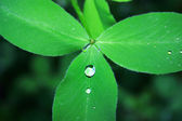 Clover leaf with drop — Stock Photo