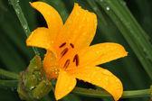 Beautiful orange lily — Stock Photo