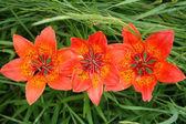 Trzy lilie czerwone — Zdjęcie stockowe