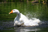 Swimming geese — Stock Photo