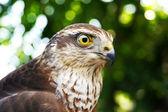 Falcon portrait — Stock Photo