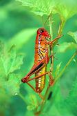 草の上の赤のバッタ — ストック写真