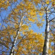 Autumn aspens — Stock fotografie