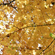 Stock Photo: Autumn maple leafs