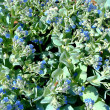 Beautiful blue flowers -  