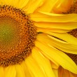 Beautiful sunflower back — Foto Stock