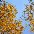 Bright autumn  leafs with blue sky — Foto Stock