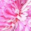 Peony flower background - Foto Stock