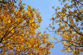 Bright autumn leafs with blue sky — Stock Photo
