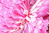 Peony flower background — Stock Photo