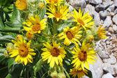 Sea sunflowers — Stock Photo