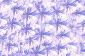 菊苣花回 — 图库照片