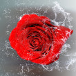 Isolated rose and water splashes — Stock Photo