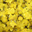 Many beautiful yellow flowers — Stock Photo #9883223