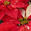 Red & White Christmas Poinsettias — Zdjęcie stockowe