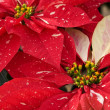 Red & White Christmas Poinsettias — Foto Stock