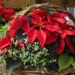 Christmas Poinsettia and Ferns Basket — Foto Stock