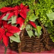Christmas Poinsettia Basket — Stock fotografie