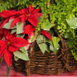 panier de poinsettia de Noël — Photo