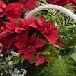 Christmas Poinsettia and Ferns Basket — Stok fotoğraf