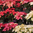 Red and White Christmas Poinsettias at Nursery — Foto Stock