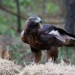 Golden Eagle — Stock Photo #7999797