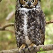 Great Horned Owl — Stock Photo #7999817