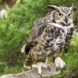 Great Horned Owl — Stock Photo #7999926