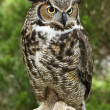 Stock Photo: Great Horned Owl Full View