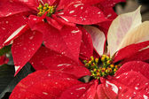 Red & White Christmas Poinsettias — Stock Photo