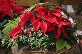 Christmas Poinsettia and Ferns Basket — Stock Photo