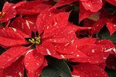 Rote und weiße weihnachten poinsettias — Stockfoto