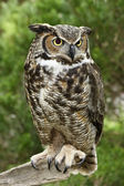 Great Horned Owl Full View — Stock Photo