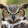 Great Horned Owl Head Shot — Stock Photo #8000038