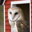 Barn Owl in Red Barn — Stock Photo