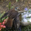 Stock Photo: An American Kestrel at a bird bath