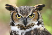 Great Horned Owl Head Shot — Stock Photo