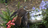 An American Kestrel at a bird bath — Stock Photo